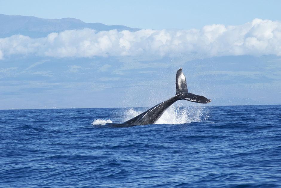 Contemplar la ballena Gris y la Jorobada en las costas del Golfo de California y del Océano Pacífico.