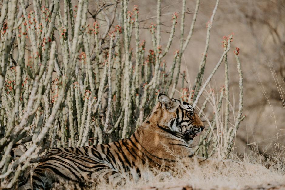 Ver los tigres de Ranthambore India | Tu Gran Viaje