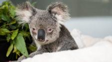 La gravedad de los incendios forestales hace temer por la desaparición de los koalas, cuya población en todo el país ronda los 80.000 ejemplares según la Fundación Koala Australia