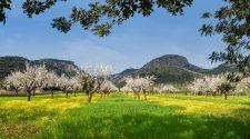 rutas para contemplar los almendros en flor de Mallorca | Tu Gran Viaje